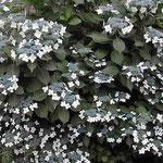 梅雨には紫陽花でしょう。これは額紫陽花。額の花とも言います。 ・雨の日も清しと思ふ額の花(和良)