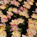 チューリップには次々に新種が生まれていると聞きました。 ・新種かな薔薇のやうなるチューリップ(和良)