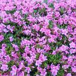 東御苑の菖蒲園で見た杜鵑花の垣根は明るかったです。         ・咲き満てる杜鵑花の垣の明るさよ(和良)