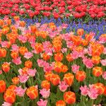 国営昭和記念公園では242品種のチューリップが並んでいました。    ・原色といふ美しき色チューリップ(和良)