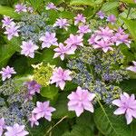 伊島にはいろんな種類の紫陽花が咲き競っていました。           ・年毎に人減る孤島額の花(和良)