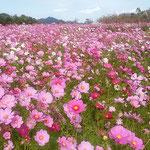 鳴門ウチノ海総合公園ではコスモスが咲き競っていました。       ・畝見えぬほどにコスモス咲き満ちて(和良)