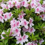 大きな躑躅の株に花がたくさん咲いていました。            ・近寄りて眺めてみたき躑躅かな(和良)