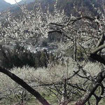 神山町の阿川梅の里に行ってきました。阿川小学校は今春で閉校と聞きました。 ・閉校の日となりにけり梅日和(和良)