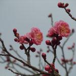 文化の森の石段を上り詰めると日当りのよい広場があり梅が咲いていました。       ・磴上り来れば日溜り梅の花(和良)