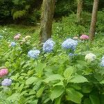 阿波市土成町の熊谷寺の参道で見た紫陽花です。            ・山寺の紫陽花山を埋め尽くし(和良)