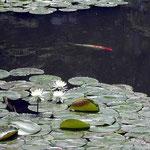 東京都立小石川後楽園で見た睡蓮です。可憐な花でした。 ・魚跳ねて又静かなリ花菖蒲(和良)