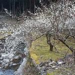 阿南市長生町の明谷梅林の奥の梅林は風もなく暖かでした。       ・お隣のこの梅林は風もなく(和良)