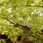 阿波市土成町の法輪寺では御手洗の若楓が爽やかでした。  ・御手洗の辺り明るき若楓(和良)