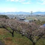 吉野川市鴨島町の檀の大楠前の梅林です。満開でした。                ・存分に梅見て初音まだ聞けず(和良)