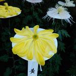 新宿御苑の一文字菊・管物花壇には菊の御紋になった菊もありました。  ・平なる菊の御紋の菊の花(和良)
