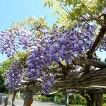 阿波市の熊谷寺で見た藤棚の藤です。綺麗な紫色でした。        ・藤咲いて空のいよいよ近くなる(和良)