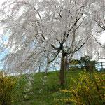 神山町の桜街道を車で走りました。満開でした。   ・町あげて桜街道作らんと(和良)