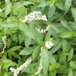 蓼の白い花を見ていると同じ蓼科の藍の花が思い浮かびました。 ・蓼の花見れば藍刈る頃かとも(和良)
