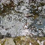 神山町では散ったばかりの花びらが水に浮かんでいました。 ・どれ見ても散りしばかりの花筏(和良)