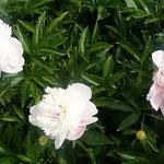 芍薬の花はまぶしいばかりに輝いていました。             ・芍薬の白のまぶしき日向かな(和良)