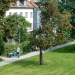 ワルシャワの歴史地区は緑が豊かで住みやすそうに見えました。     ・緑なすワルシャワの街ななかまど(和良)