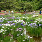 皇居東御苑の菖蒲園にはたくさんの観光客が見学に来ていました。    ・雨模様なる日生き生き菖蒲園(和良)