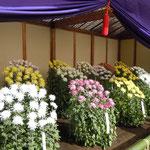 江戸菊花壇です。新宿御苑の菊花壇の中で最も古い歴史があります。   ・江戸菊のほつれるやうに咲きにけり(和良)