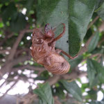 台風の後も我が家の植木には蝉の抜け殻がしがみついていました。 ・台風の風にも落ちず蝉の殻(和良)