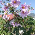 鳴門市大麻町で見た皇帝ダリアです。高々と咲いていました。  ・高々と皇帝ダリア冬日濃し(和良)