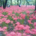 巾着田曼珠沙華公園には昨年、天皇皇后両陛下が来られたののことです。 ・色変えぬ松の緑と曼珠沙華(和良)