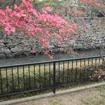 徳島城公園で花水木を見ました。お堀の石垣に映えていました。 ・石垣は阿波の青石花水木 (和良)