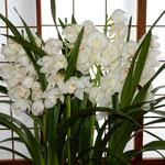 お正月に飾ってくださいと大きな蘭をいただきました。                   ・真白かな冬のソナタと名づく蘭(和良)