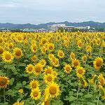 藍住町を散歩していると広い向日葵の畑がありました。  ・この畑の向日葵どれも東向き(和良)