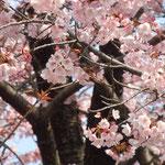 原田家屋敷の蜂須賀桜です。早咲きの桜です。                                     ・先立ちて蜂須賀桜満開に(和良)