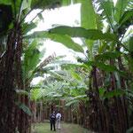 熊本の江津湖のほとりにある芭蕉林です。まるでジャングルのようでした。 ・阿蘇の水ここに湧き出て芭蕉林(和良)