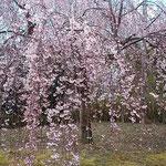 吉野川市の向麻山公園ではしだれ桜が満開に咲いていました。      ・風の出てしだれ桜の踊り出す(和良)