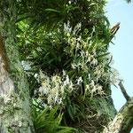 浜松市で見た槙の古木の風蘭です。梅雨明けの空に輝いて見えました。  ・風蘭の白の極まり空の青 (和良)