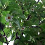 我が家の庭の沙羅の花です。啄木記念館はこれからでしょうか。 ・沙羅咲いて渋民村のことをふと(和良)