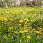 徳島市植物園の裏山にたんぽぽの群生がありました。          ・ほかほかの土にたんぽぽ咲き満てる(和良)