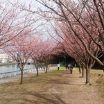 植樹して10数年ですが、素晴らしい蜂須賀桜のトンネルになりました。     ・トンネルを作りし蜂須賀桜かな(和良)