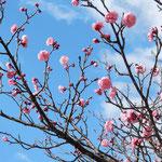 文化の森の広場には紅梅が咲き始めていました。                    ・青空に紅梅紅をきらめかせ(和良)