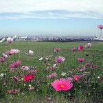 札幌市を一望する羊ヶ丘展望台で見たコスモスです。 ・恋の町見下ろしてをり秋桜(和良)
