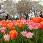 国営昭和記念公園のチューリップ園には人が詰めかけていました。    ・咲き満てるこの迫力はチューリップ(和良)