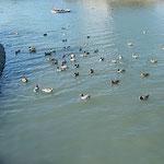 吉野川市鴨島町の江川にはたくさんの鴨が群れていました。 ・一切れのパンに崩るる鴨の陣(和良)