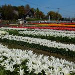 北島町のチューリップ園では4万8千本が咲き競っていました。 ・白といふまぶしき色やチューリップ(和良)