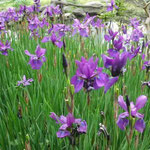 東京の芝離宮で見たあやめです。その姿に凛々しさを感じました。 ・凛として立てる紫あやめ草 (和良)