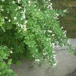 倉敷の美観地区では掘割の岸辺にまだ萩の花が咲いていました。  ・赤よりも白の大振り萩の花(和良)