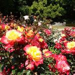 強い日差しを浴びてたくさんの薔薇が咲き競っていました。       ・大振りの薔薇には早も痛みあり(和良)