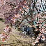 助任川南岸でも「蜂須賀桜と武家屋敷の会」のお接待がありました。   ・花冷えに熱き善哉ありがたく(和良)