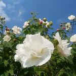 仰ぎ見ると大きな芙蓉の白い花が青空に映えていました。        ・仰ぎ見る芙蓉の空の青さかな(和良)