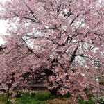 原田家住宅の蜂須賀桜の母樹にはたくさんの人々がお花見に来ました。  ・一本の桜に人の押し寄せて(和良)