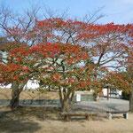 徳島中央公園では徳島城博物館前のクロガネモチが真っ赤な実をつけていました。 ・冬枯れの園にクロガネモチの赤(和良)