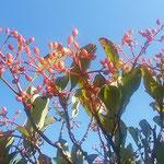珊瑚樹の赤い実は雲一つない青空に映えていました。          ・青空に珊瑚樹の実の真っ赤かな(和良)
