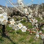 板野町の梅林です。まだ白梅の花が咲き競っていました。                 ・梅林の土ほかほかとしてをりぬ(和良)